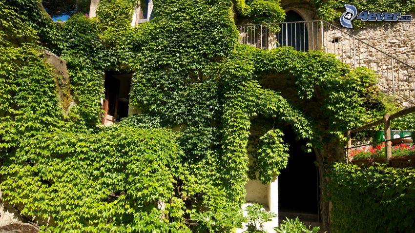 dom, bluszcz, zielone liście