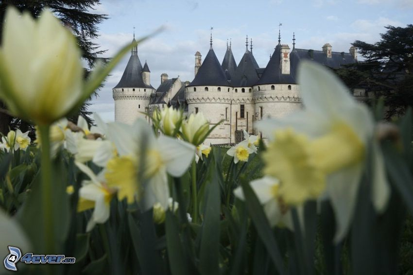 Château de Chaumont, żonkile