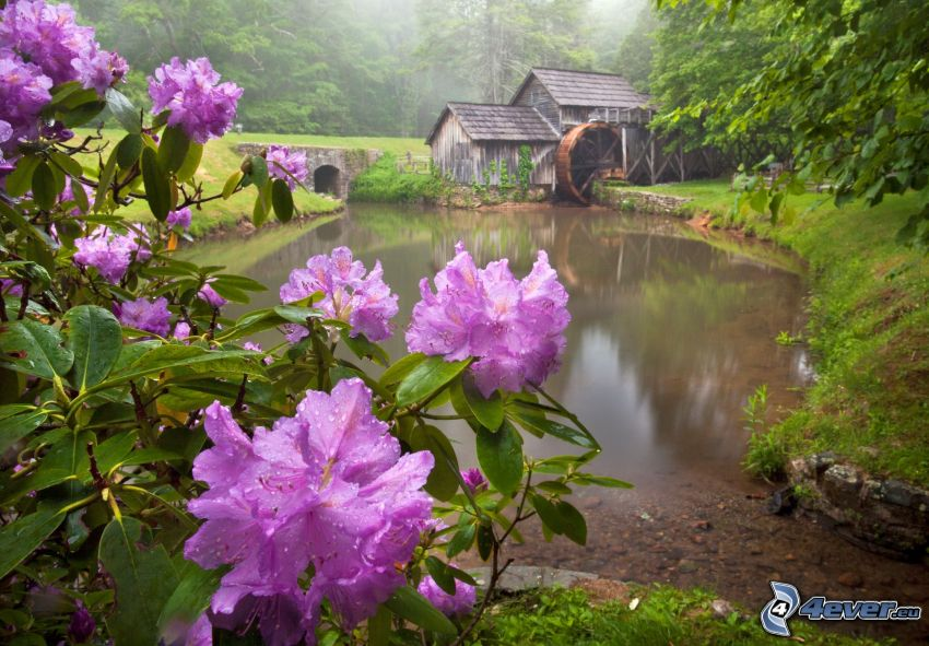 Mabry Mill, różowe kwiaty, rzeka, las