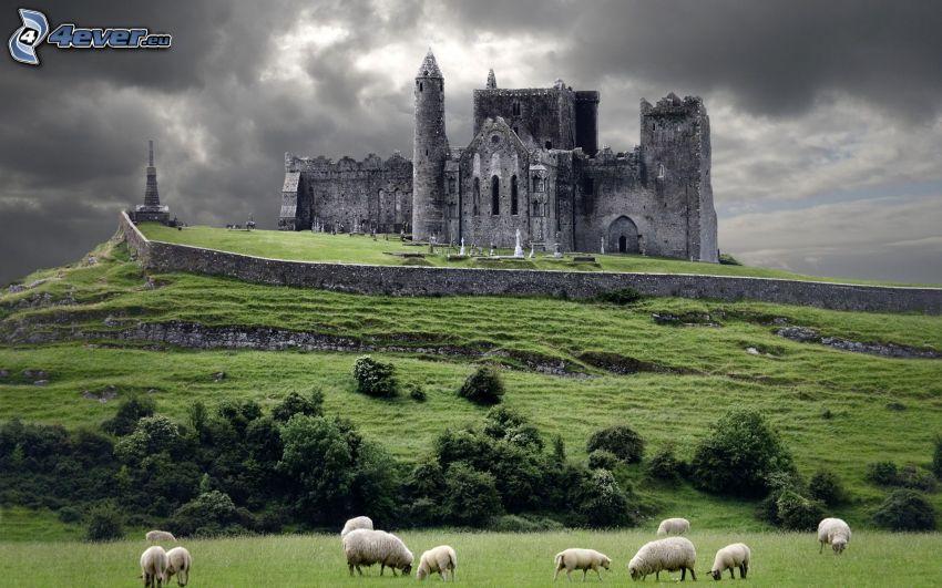 Rock of Cashel, ruiny, katedra, Irlandia, owce