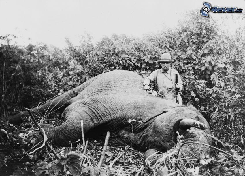 słoń, polownik, stare zdjęcie