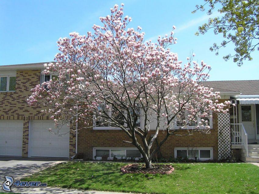 magnolia, domy