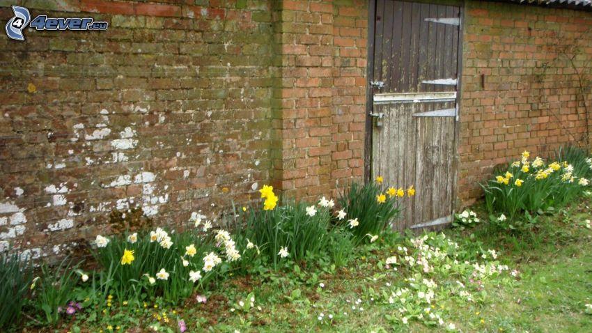 mur, ceglany mur, żonkile, stare drzwi