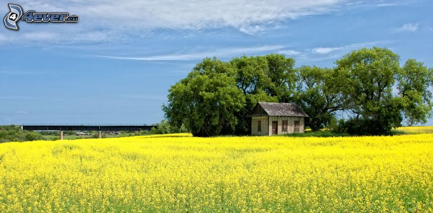 opuszczony dom, drzewa, rzepak, pole, most