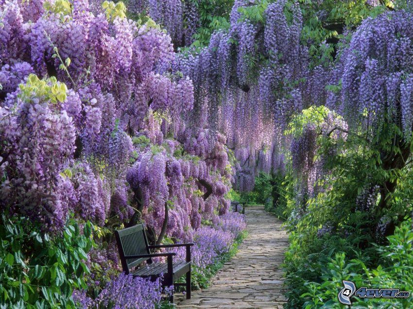 glicynia, fioletowe drzewa, ławeczka, park, ławka w parku