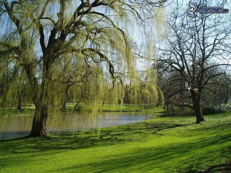 wierzba, park, trawnik, jezioro, wiosna