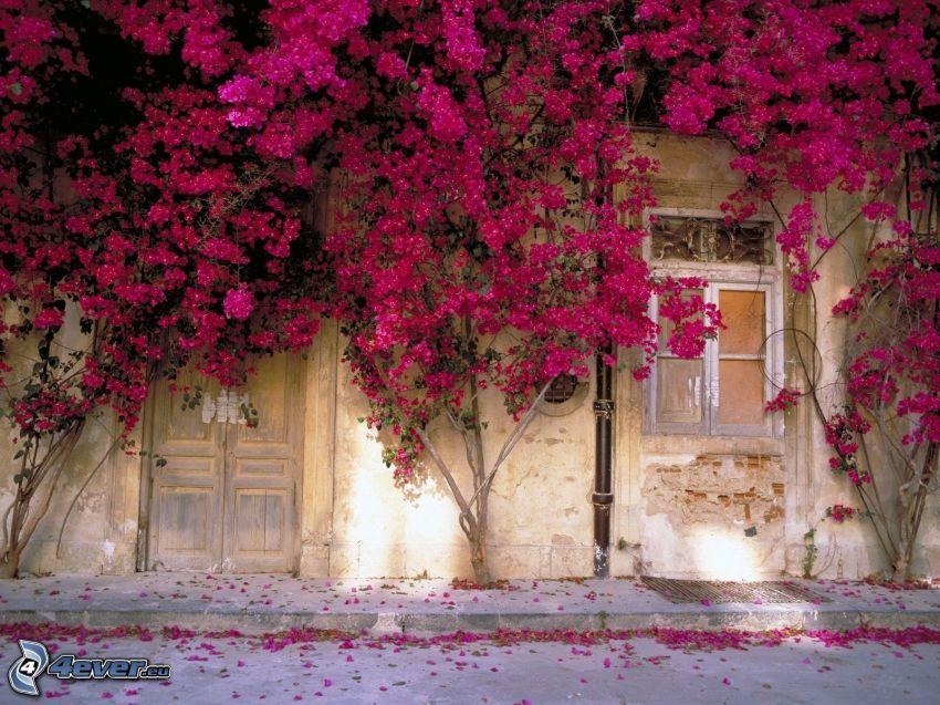 ściana, domek, różowe rośliny