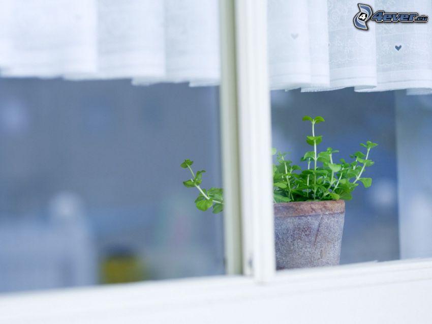 doniczka, zioła, okno