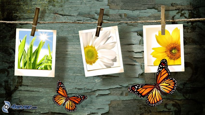 Zdjęcia, obrazy, kwiaty, Motyle