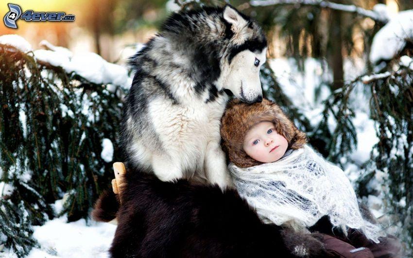dziecko, Syberian husky