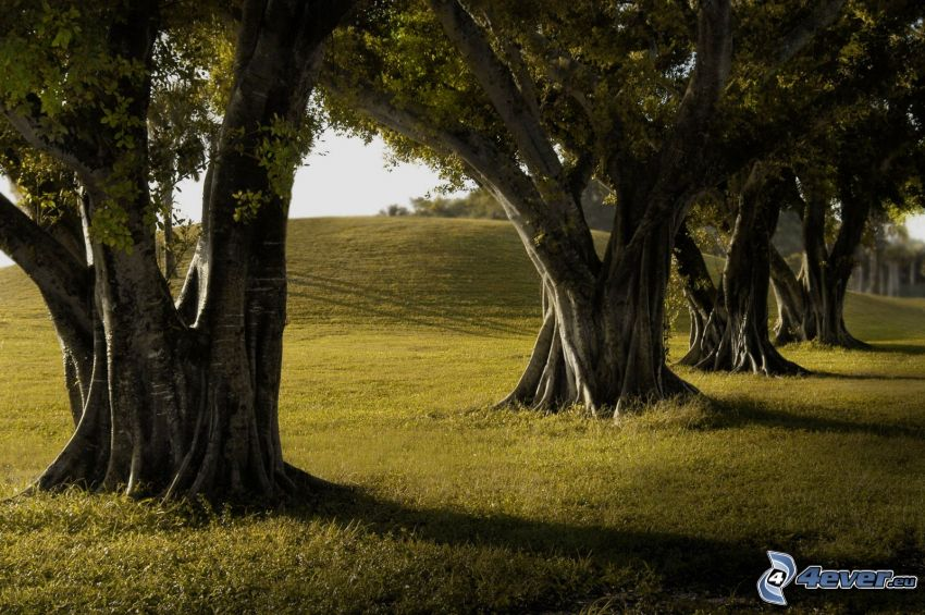 aleja drzew, ogromne drzewa, łąka, rozgałęzione drzewo