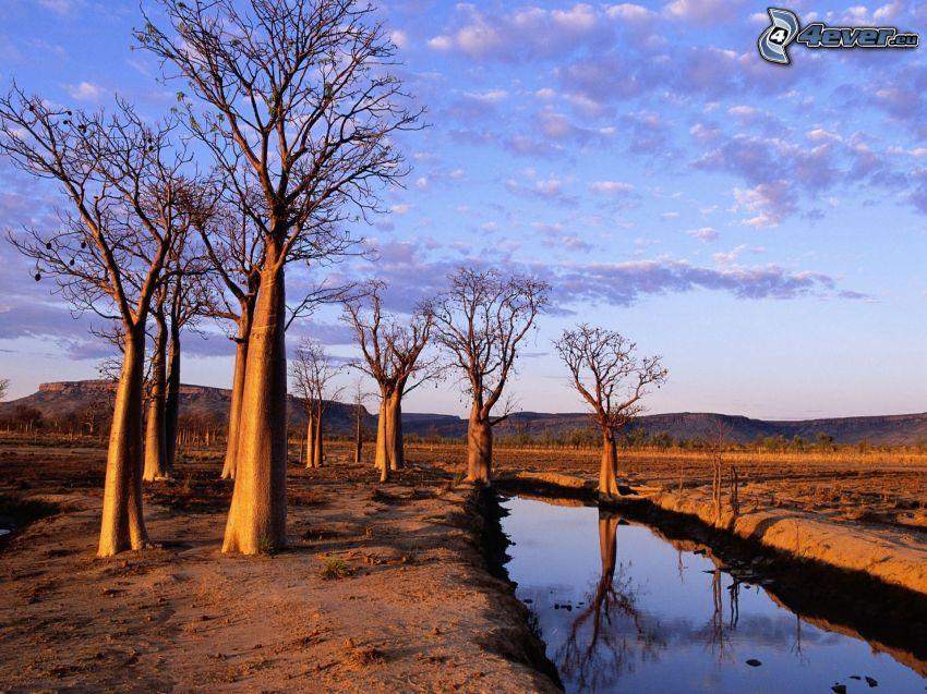 baobaby, suche drzewa, strumyk, niebo