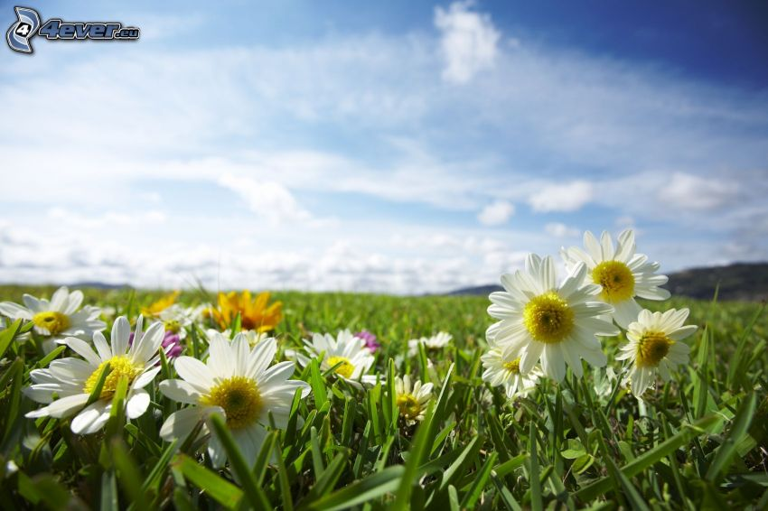 białe kwiaty, łąka