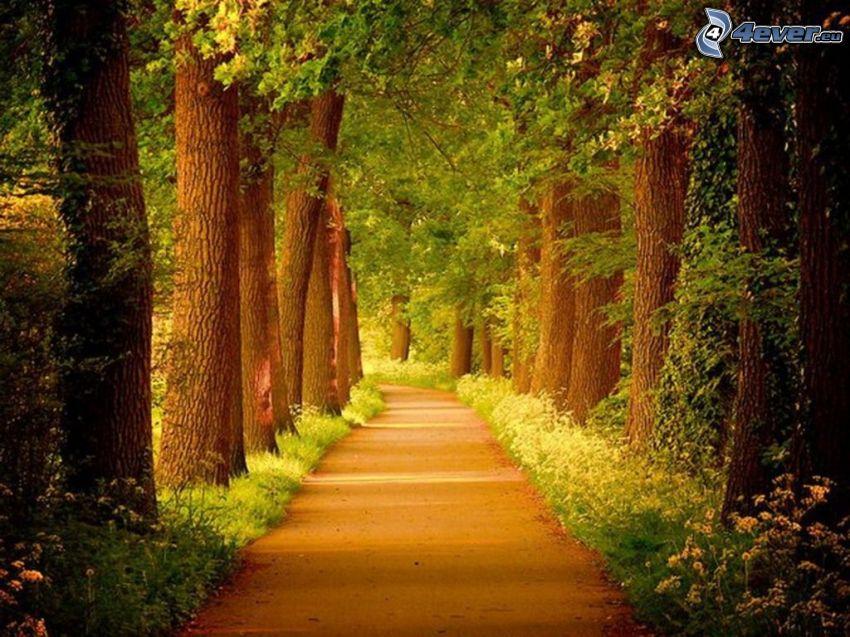 chodnik przez las, ogromne drzewa, zieleń