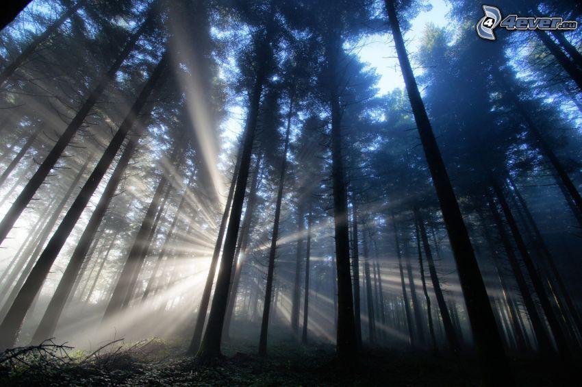 ciemny las, promienie słoneczne