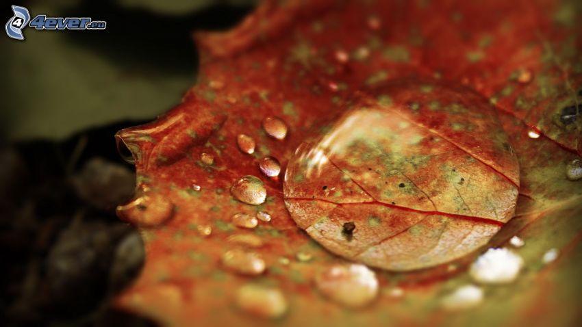 czerwony jesienny liść, krople wody