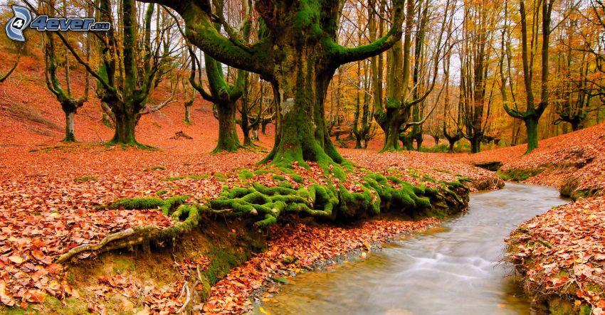czerwony jesienny liść, strumyk w lesie
