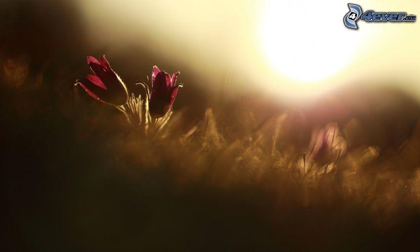 czerwony kwiat, łąka, słońce