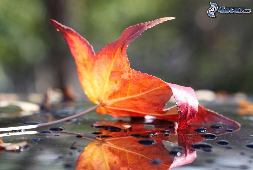 czerwony liść, powierzchnia wody
