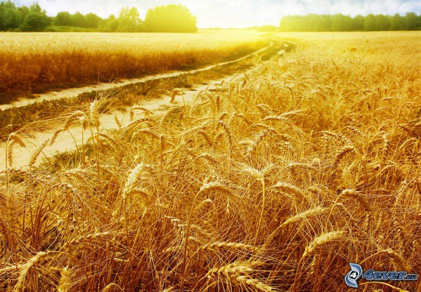 dojrzałe pole pszenicy, polna droga, zachód słońca nad polem
