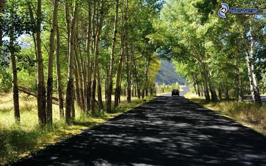Droga przez las, aleja drzew, brzozy, samochód