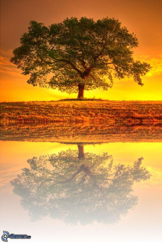 drzewo, odbicie, łąka, żółte niebo, po zachodzie słońca