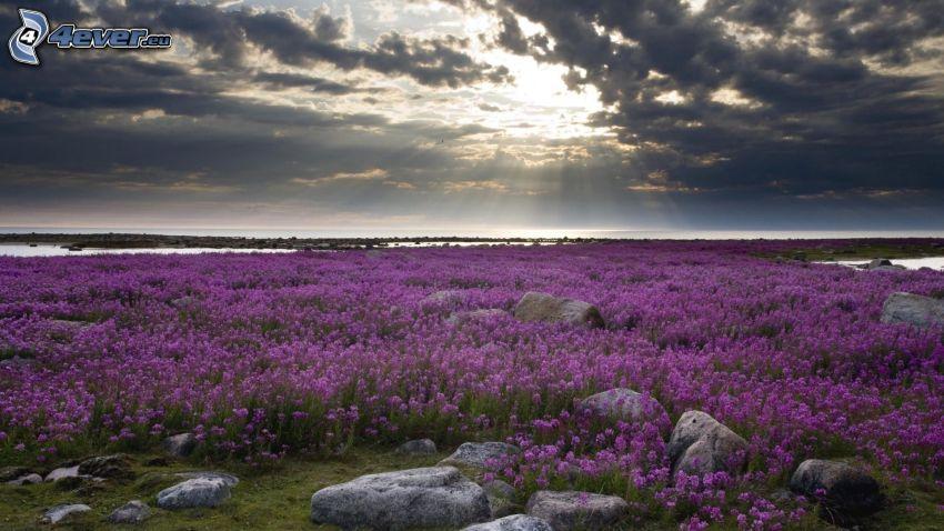 fioletowe kwiaty, łąka, promienie słoneczne, ciemne chmury