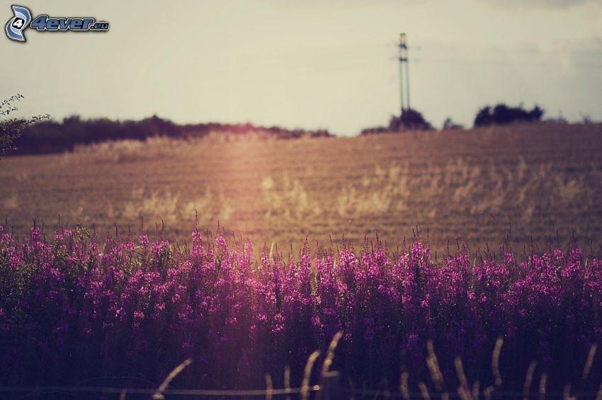 fioletowe kwiaty, pole