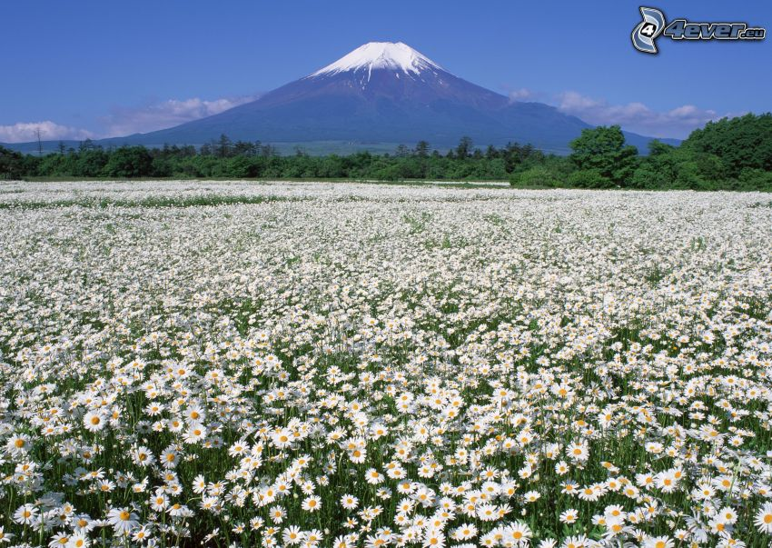 Góra Fuji, łąka, stokrotki, śnieg