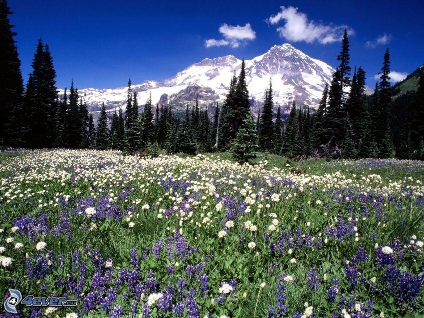 Mount Rainier, Washington, USA, zaśnieżona góra, dzikie kwiaty, łąka, las iglasty