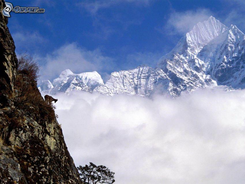 Mount Wilber, zaśnieżona góra, kozica