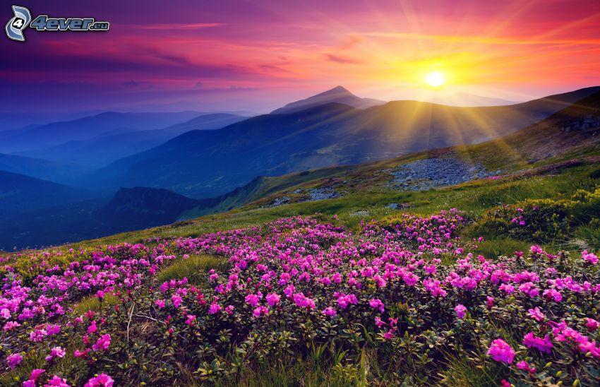 wzgórza, zachód słońca, różowe kwiaty