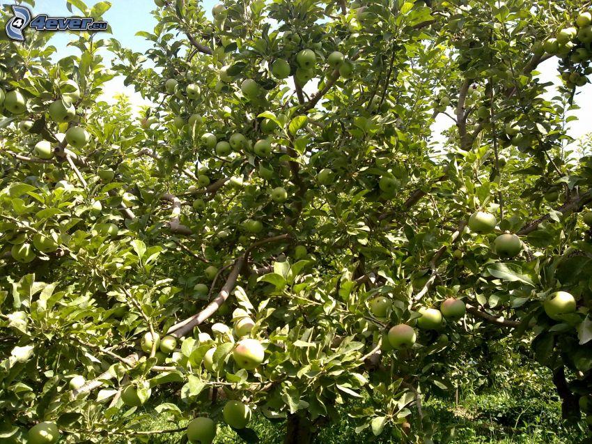 jabłoń, zielone jabłka
