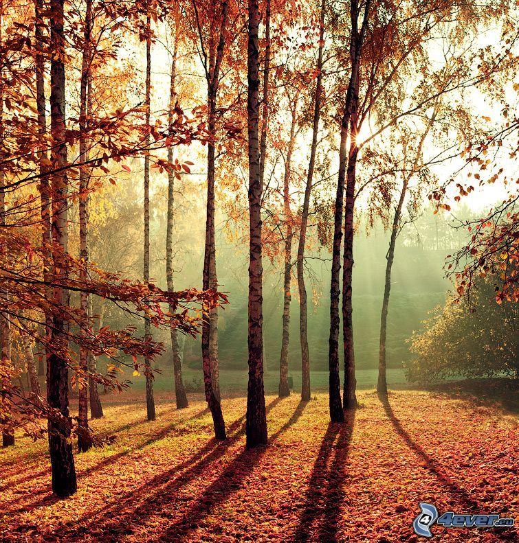jesienne drzewa, brzozy, opadnięte liście