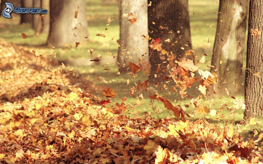 Jesienne liście, drzewa