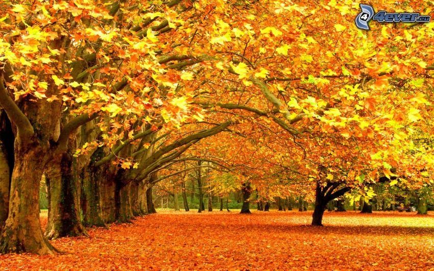 jesienny park, żółte drzewa, opadnięte liście