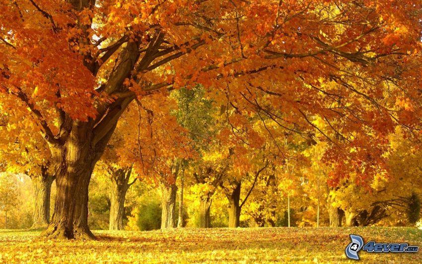 jesienny park, żółte drzewa