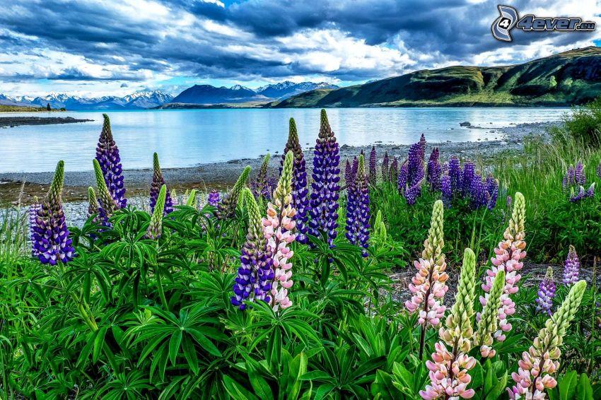 jezioro, kwiaty, łubin, pasmo górskie