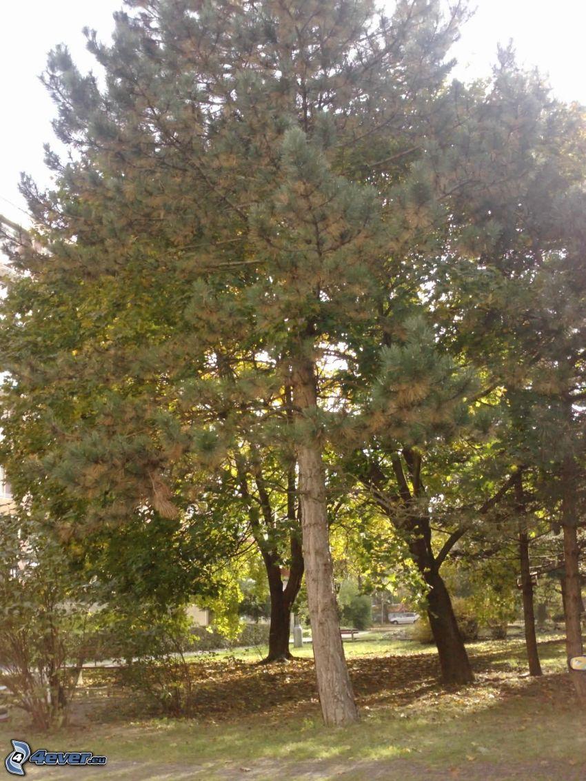 jodła, drzewo iglaste, Drzewa w parku