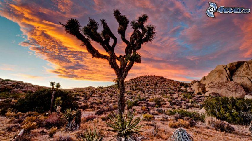 Joshua Tree National Park, drzewo, skały, kaktusy