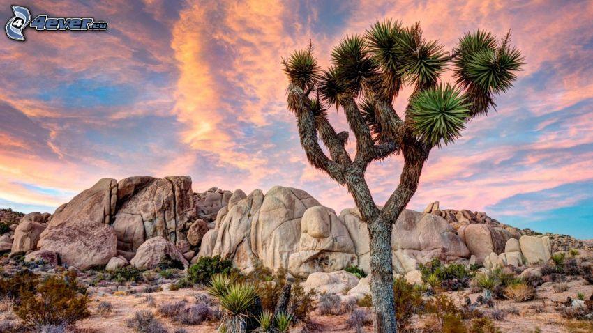 Joshua Tree National Park, drzewo, skały, różowe niebo
