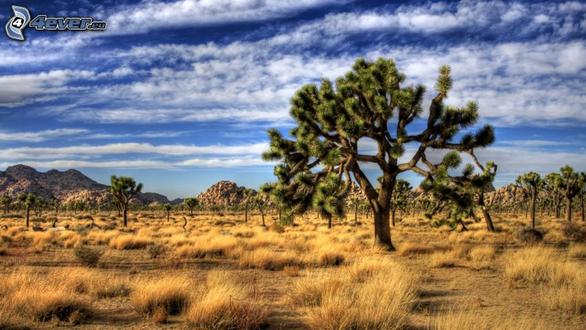 Joshua Tree National Park, skały, drzewa, łąka
