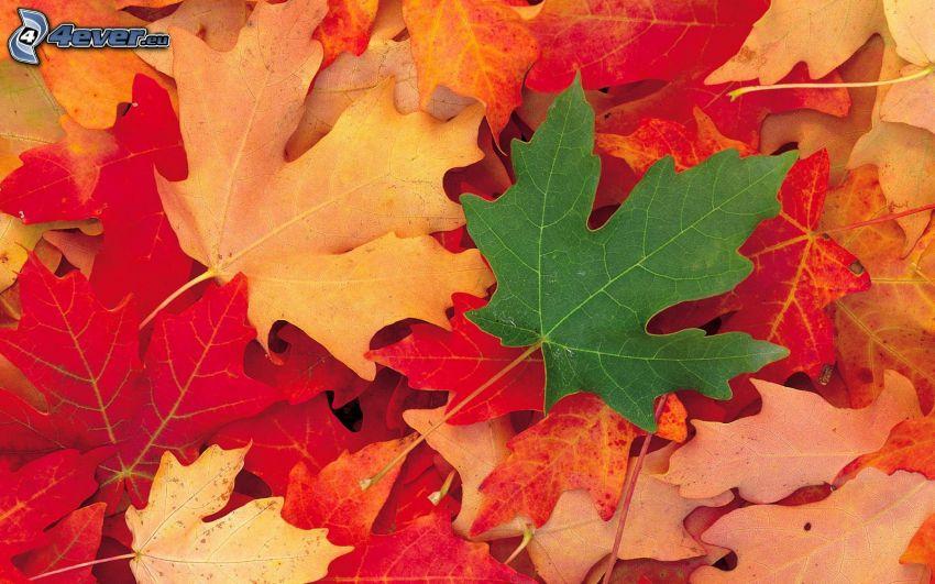 kolorowe liście, czerwone liście, zielony liść