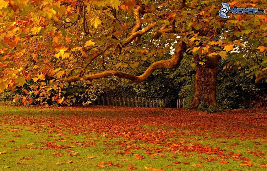 kolorowe liście, ogromne drzewo, ogród, jesień, suche liście