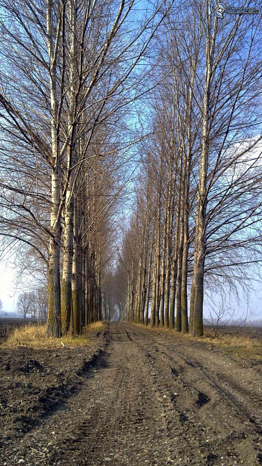 aleja drzew, polna droga