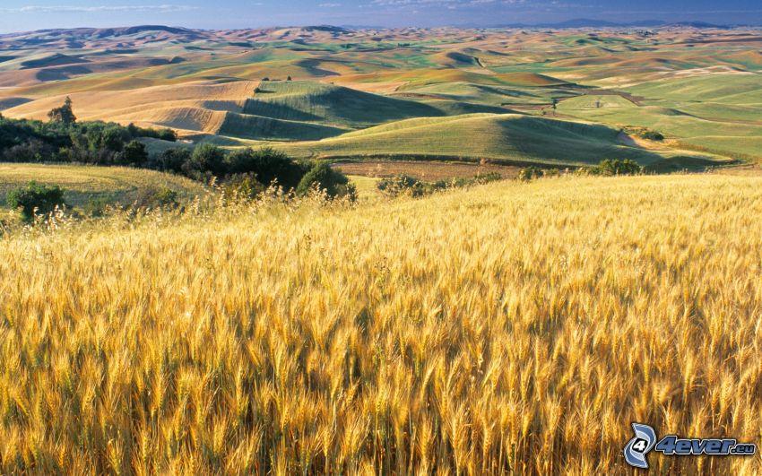 dojrzałe pole pszenicy, jesienny krajobraz, jesienne wzgórza, widok na krajobraz