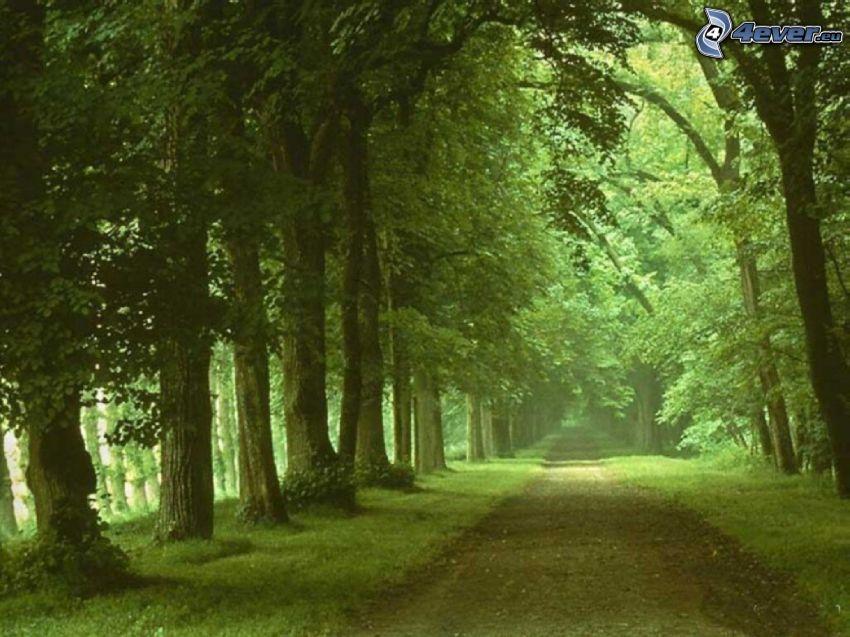 droga zieloną aleją, aleja drzew, las, zieleń