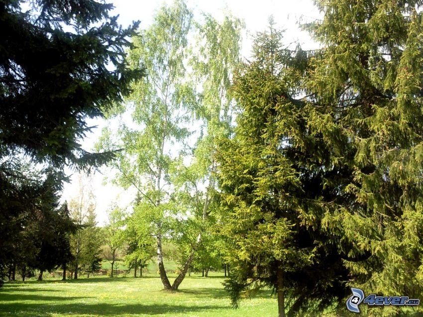 Drzewa w parku, brzoza, drzewa iglaste