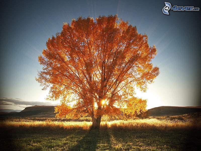 ogromne drzewo, słońce, krajobraz