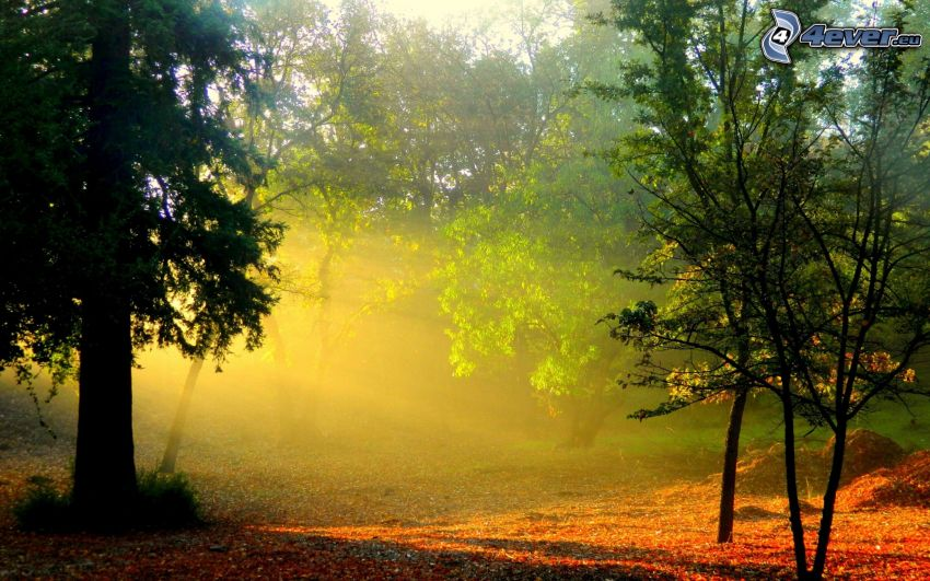 promienie słoneczne, drzewa, opadnięte liście
